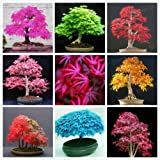 #10: M-Tech Gardensmixed American Maple Bonsai Tree Seeds Mixed Varieties -10 Seeds