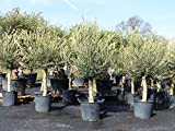 Olivenbaum, Olive, 40 Jahre 180 - 200 cm, winterhart