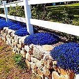 YENJOS Blumensamen- 100pcs Klettern Rosen Parthenocissus Rock Kresse Samen Gardern Balkon Dekor Pflanzen