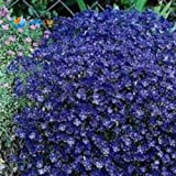Pinkdose Rock Cress 100 PC/Los Aubrieta Cascade Purple Flower Pflanzen Superb Staude Bodendecker für Hausgarten-Balkon Fensterbank: Clear