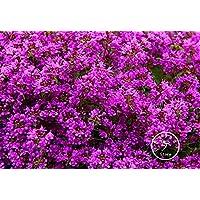 100 PCS nuovi semi 2015! Thyme Herb i semi del fiore perenne giardino Thymus paesaggio, semi di fiori groundcover da sposa