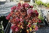 Hortensie Bauernhortensie Masja Hydrangea macrophylla Masja 30-50 cm hoch