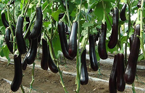 40 graines / sac Légumes, fruits et graines en pot balcon graines d'aubergine pourpre long balcon en pot environ 50