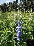 Stauden-Set 'Bauerngarten' blau blühend für Sonne Englische Garten-Rittersporn im 3 Liter Topf 3 Pflanzen
