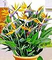 BALDUR-Garten Paradiesvogel-Blume Strelitzie,1 Pflanze Strelitzia reginae von Baldur-Garten bei Du und dein Garten