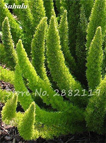 120 Pcs rares Wu bambou sétaire semences de plantes ornementales Bonsai herbes Plantes vivaces Jardin intérieur Graines en pot air frais facile à cultiver 6