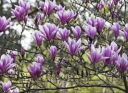 Pas chers Plantes Bonsai Qing parfum Belle Yulan fleurs Graines magnolia semences 10seeds / sac
