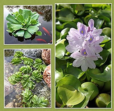 Schwimmpflanzen Set - Eichhornia crassipes/Salvinia natans/Pistia stratiotes - Wasserpflanzen Wolff von Wasserpflanzen Wolff - Du und dein Garten