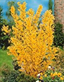 Willemse France 2 Forsythias 'Spectabilis'