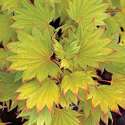 Japanischer Goldahorn- Acer shirasawanum Aureum-Goldgelb- Gesamthöhe: 50-60cm Topf: 3 ltr. von GardenPalms auf Du und dein Garten