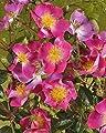 Rambler-Rose 'Rosenreigen' -R- im 4 L Container von Rosen-Union bei Du und dein Garten