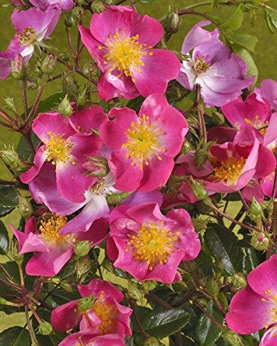 'Rosenreigen' -R-, Rambler-Rose im Rosen-Container