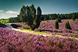Artland Qualitätsbilder I Wandtattoo Wandsticker Wandaufkleber 120 x 80 cm Botanik Blumenwiese Foto Lila C9BB Romantischer Weg in der Lüneburger Heide