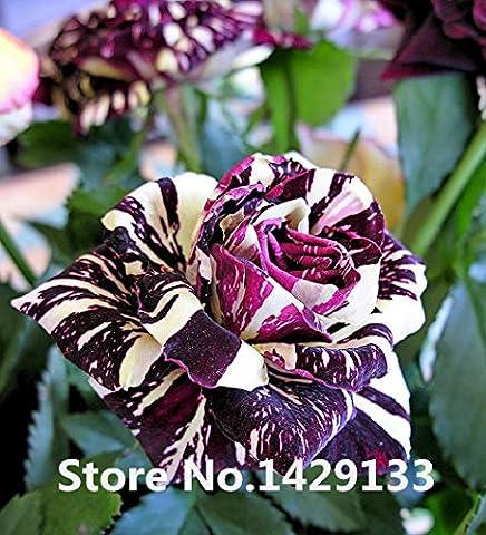 Streifen Strauchrose Blumensamen 50PCS Seltene Bush Rose Blumensamen Yello Rot, Rosa, Lila Gartenbonsai Exotische Pflanze Freies Verschiffen