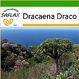 SAFLAX - Drachenbaum - 5 Samen - Mit Substrat - Dracaena Draco