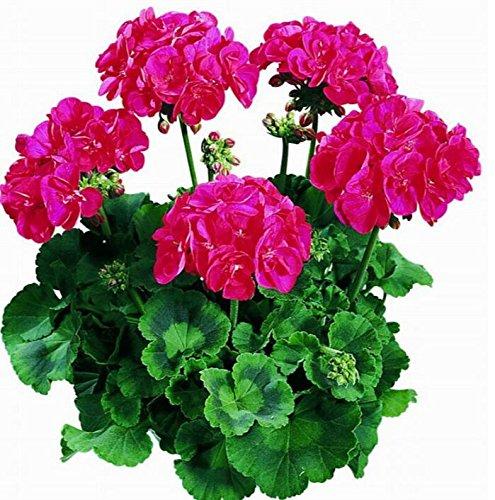 Deux couleurs Rouge Blanc univalve Géranium Graines Graines de fleurs vivaces Pelargonium peltatum Semences pour 100 graines Pièces d'intérieur / Sac 12