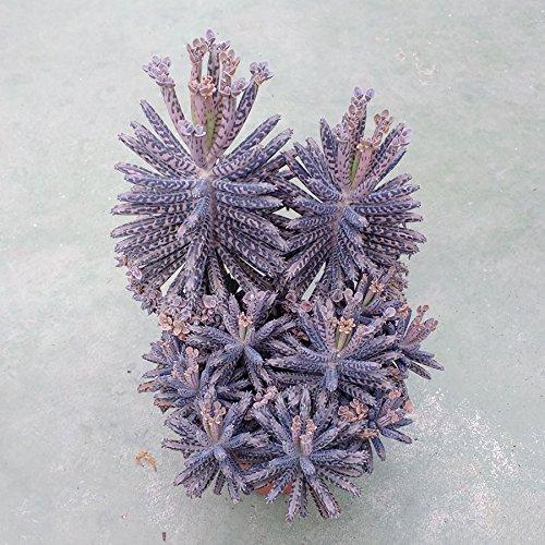 Kalanchoe tubiflora - Chandelier Plant - Mother of Millions - 4 Baby Pflanzen