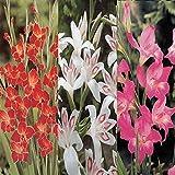 Glaïeul nanus Collection - 30 bulbes de fleurs