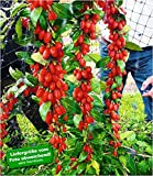 BALDUR-Garten Winterhart Goji'Sweet Lifeberry®', 1 Pflanze Gojibeeren-Pflanze