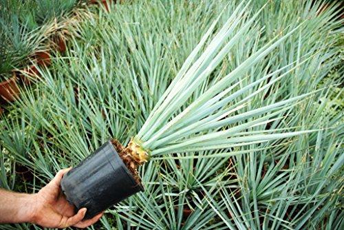 Winterharte Blaukronige Kugelyucca - Yucca rigida - verschiedene Größen (90-100cm - Topf Ø 33cm - 15 Ltr.)