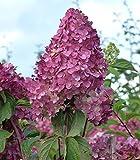 Rispenhortensie `Vanille Fraise´ ® Größe 6-L-Topf, 60-80 cm Pflanzenhöhe