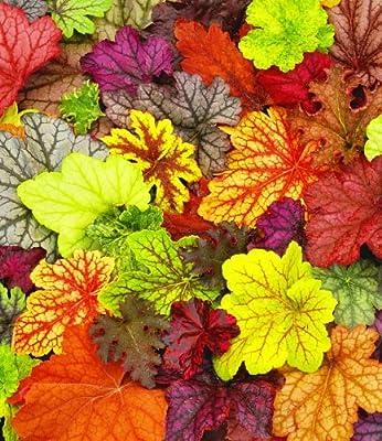BALDUR-Garten Winterharter Bodendecker Heuchera-Mix 'Farbpalette' Purpurglöckchen, 4 Pflanzen von Baldur-Garten auf Du und dein Garten
