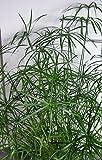 Asklepios-seeds® - 500 Samen Cyperus alternifolius, Zyperngras