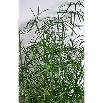 Zyperngras Katzenspaß Cyperus papyrus