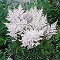 Weiße Prachtspiere (Astilbe arendsii 'Astary White') - 1 Pflanze von Garten Schlüter - Du und dein Garten