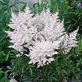 Weiße Prachtspiere (Astilbe arendsii 'Astary White') - 1 Pflanze
