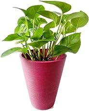 Root Bridges Indoor Green Money Plant
