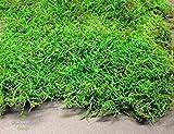 Moosmatten konserviert Deko Moos 1-Lage Flachmoos kaufen haltbar Moosplatten für Dekoration mit Moss, konserviertes Waldmoos echtes Naturmoos haltbares Dekomoos für Floristik und Dekoration