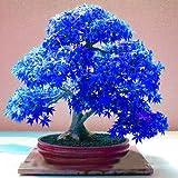 20pcs púrpura fantasma azul árbol de arce japonés, (Acer palatum), semillas de flores, semillas de árboles bonsai, plantas en maceta para el hogar y el jardín
