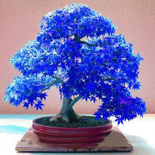 20pcs-fantome-bleu-pourpre-japonaise-erable-acer-palatum-les-graines-bonsai-de-fleurs-graines-darbre