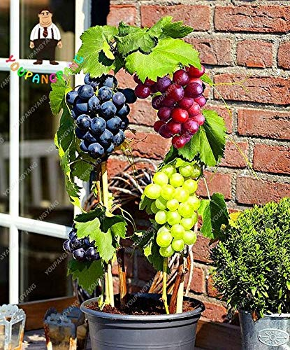 50 Teile/beutel Miniatur Weinrebe Samen Bio Samen Regenbogen Traubenkernöl Sukkulenten Süße Lebensmittel Einfach Zu Wachsen Samen Garten: Rot -
