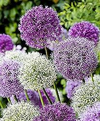 Riesen Lauch (Allium Giganteum) Mix - Violett Und Weiss - 2 X 50 Samenpack - Zierlauch - Winterhart - Riesenlauch