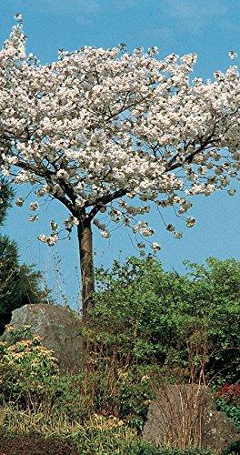 130-150cm-prunus-tai-haku-great-white-cherry-tree-9l-pot-3-year-old-oranmental-flowering-fruit-tree