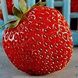 Doubleer 100 Teile/paket Riesige Erdbeere Samen Garten Balkon Decor Obst Samen