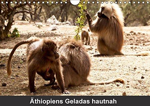 Äthiopiens Geladas hautnah (Wandkalender 2017 DIN A4 quer): Die nur im Hochland Äthiopiens vorkommenden Geladas (Blutbrustpaviane)  beeindrucken durch ... 14 Seiten ) (CALVENDO Tiere)