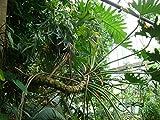 Baum-Philodendron 15 Samen *philodendron selloum*