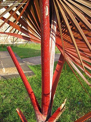 10frische Samen Latania lontaroides rot LATAN Palm