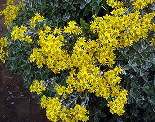 brachyglottis-greyi-sunshine-hardy-evergreen-silver-leaves-shrub-1-litre-plant-pot