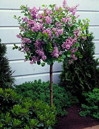 dwarf-korean-lilac-tree-syringa-palibin-large-standard-100-120cms-tall