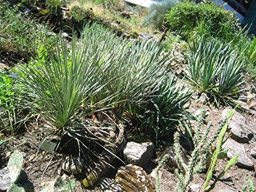 Palmlilie, Yucca glauca im 9cm Topf