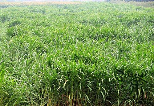 Plantes ornementales Parc, 120 Piece Graines Australie Big Lantern Kochia Scoparia Herbe, meilleures variétés, 98% Germination Taux