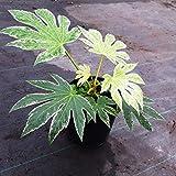 Future Exotics Fatsia japonica Spider Web Aralie variegata Blatt weiß grün winterhart