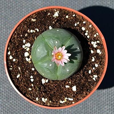 Lophophora williamsii peyote Standard 3,5cm von lophophora-williamsii.de - Du und dein Garten