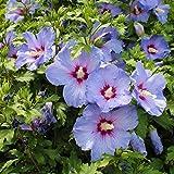 Dominik Blumen und Pflanzen, Roseneibisch, Hibiskus syriacus, blau blühend, 1 Strauch, 2-4 triebig, 20 - 40 cm hoch, zurückgeschnitten, 1,5 Liter Container, plus 1 Paar Handschuhe gratis