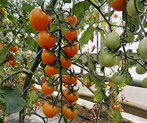 Bobby-Seeds BIO-Tomatensamen Lillit Portion - Cherry-tomaten Orange