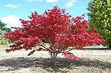 Japanischer Blutahorn Acer palmatum 1 Baum mit 50-60 cm Frosthart. Höhe im 3 Liter Container